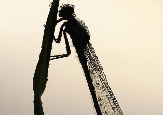 Силуэт равнокрылой стрекозы