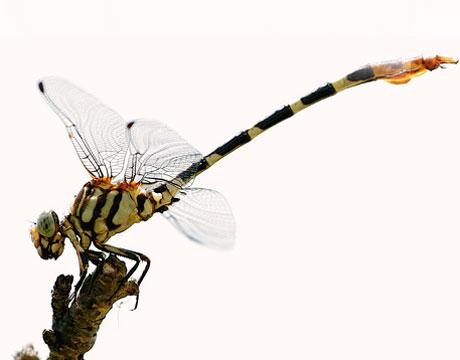 Фото неравнокрылой стрекозы