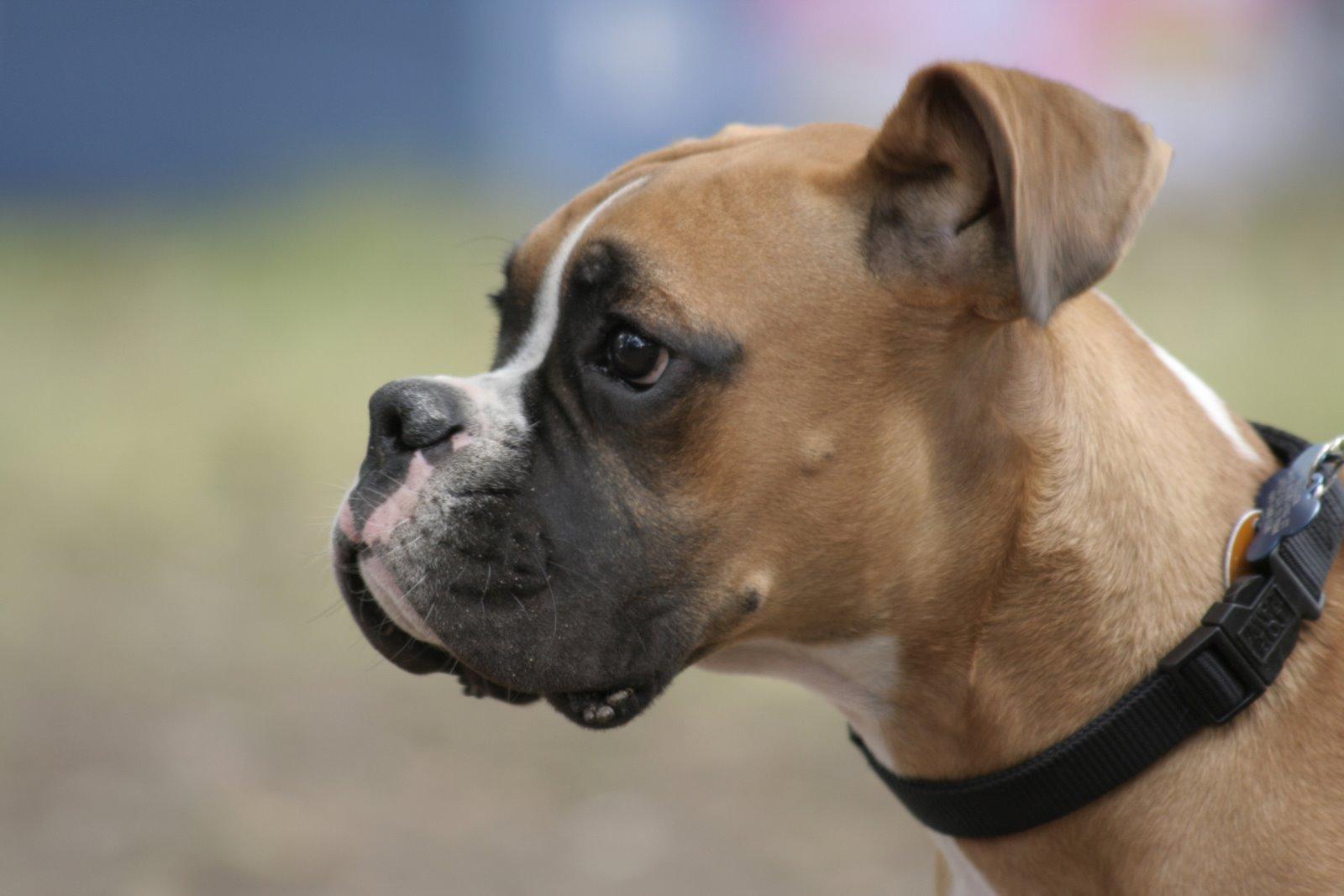 фото породы собак боксёр