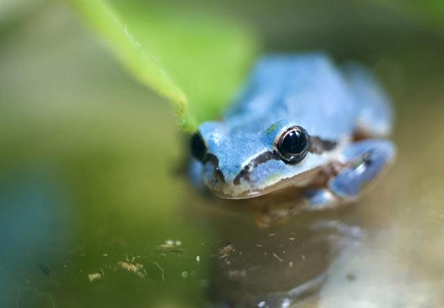 Голубая древесная лягушка