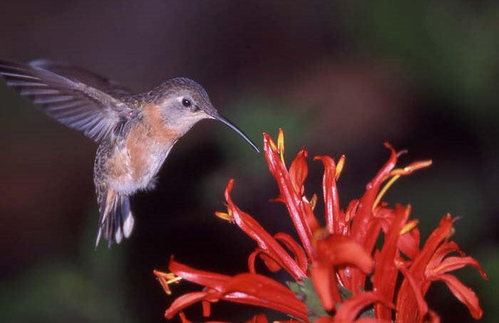 Колибри пьет пыльцу
