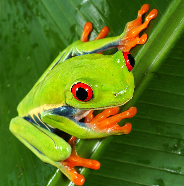 Зеленая древесная лягушка